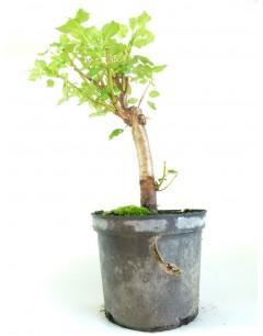Prunus Miravolant