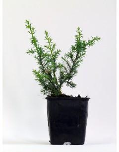 Juniperus Azul